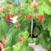 ラズベリーベランダ栽培