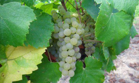 シャルドネ-ブドウの収穫