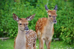 gibier-ジビエ―鹿
