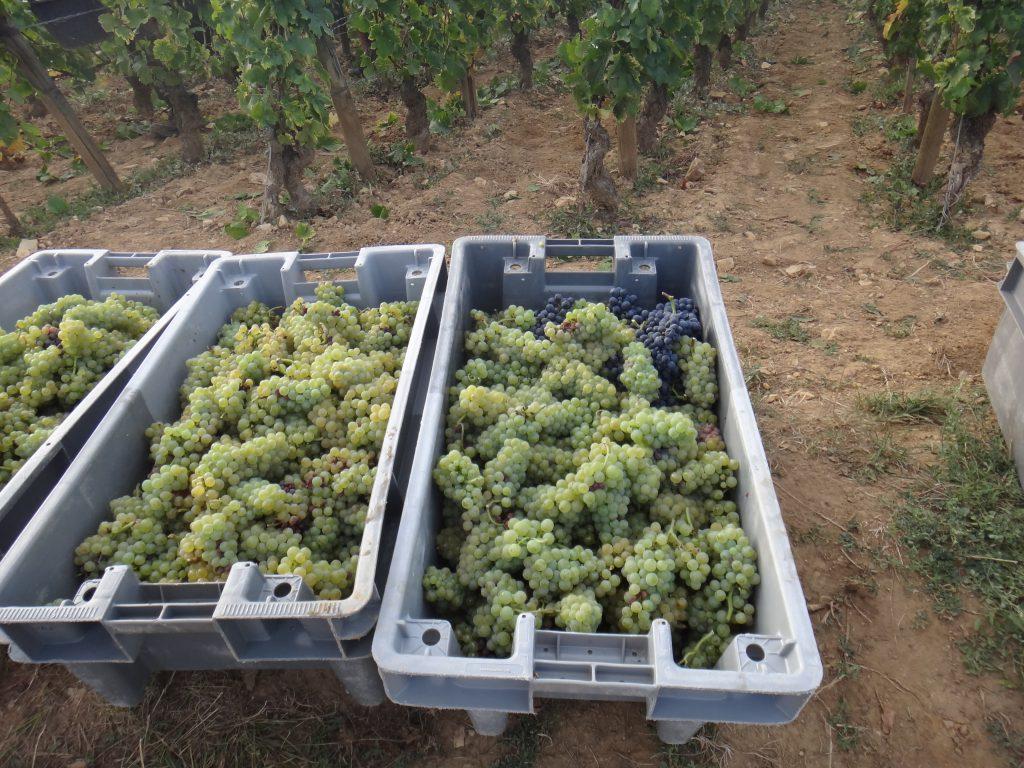 シャルドネの収穫-recolte-de-raisin